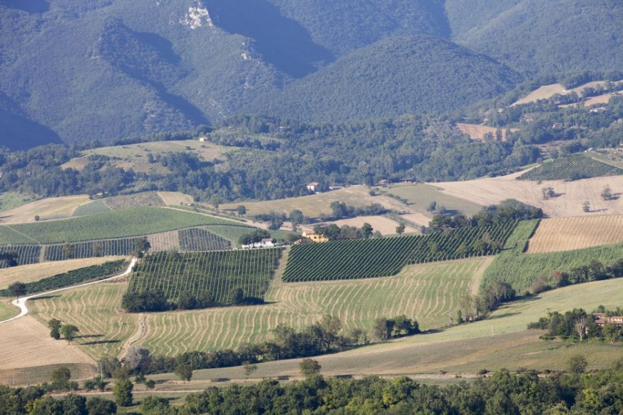 Landscape of Verdicchio Cavalieri grape variety