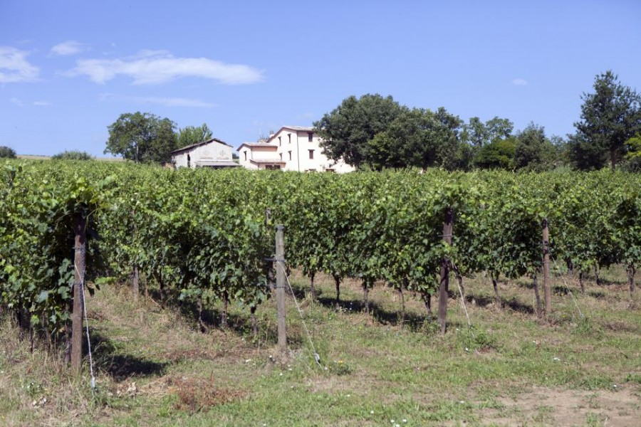 Verdicchio Cavalieri grape variety 3
